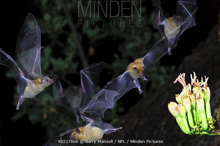 Lesser Long-nosed Bats (Leptonycteris curasoae)nectar feeding at a flowering Agave plant, Chiricahua Mts, Arizona, Mexico border  -  Barry Mansell/ npl