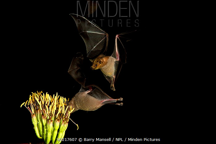Lesser Long-nosed Bats (Leptonycteris curasoae)nectar feeding at a flowering Agave plant,  -  Barry Mansell/ npl