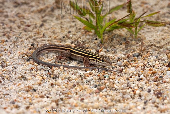 Arizona Striped Whiptail lizard (Aspidoscelis arizonae) female on sand, Cochise Co, Arizona, USA  -  Barry Mansell/ npl