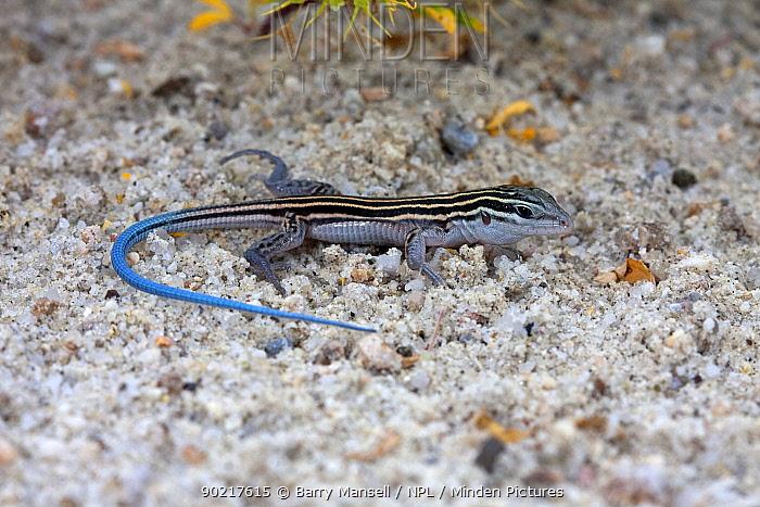Arizona Striped Whiptail lizard (Aspidoscelis arizonae) male with blue tail, Cochise Co, Arizona, USA  -  Barry Mansell/ npl