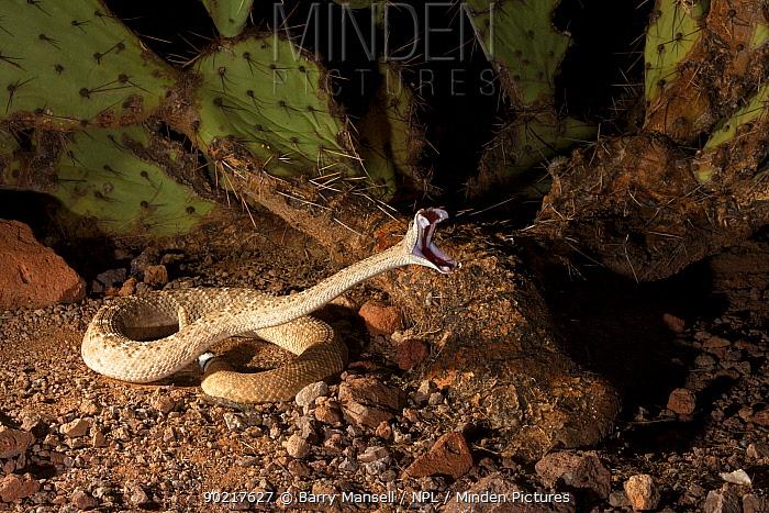 Western Diamondback Rattlesnake (Crotalus atrox)  -  Barry Mansell/ npl