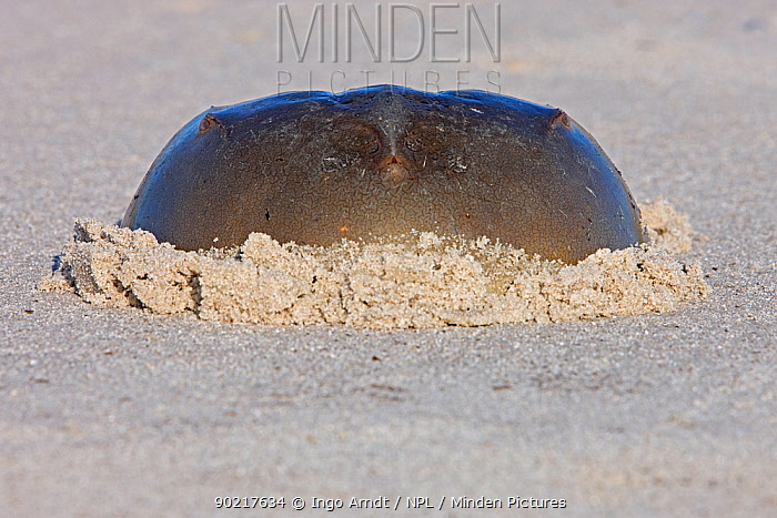 Horseshoe crab (Limulus polyphemus) partially buried in sand, Delaware Bay, Delaware, USA, May  -  Ingo Arndt/ npl