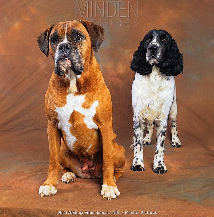 Boxer and Springer spaniel, studio portrait  -  Ernie Janes/ npl