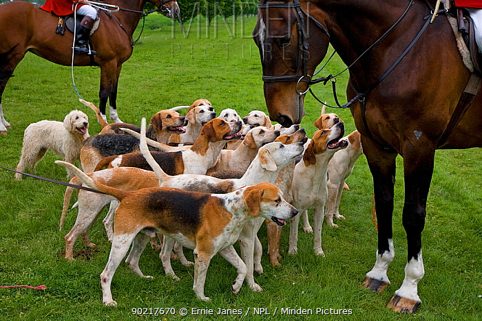 Pack of Foxhounds with huntsmen from the Craven Hunt, UK, May 2006  -  Ernie Janes/ npl