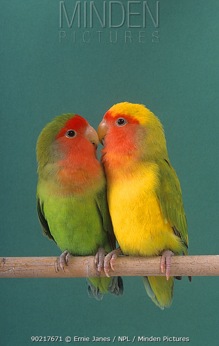 Pair of Lovebirds (Agapornis sp) perched  -  Ernie Janes/ npl