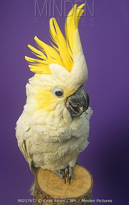 Pet Sulphur crested cockatoo (Cacatua galerita) perched with crest raised, UK  -  Ernie Janes/ npl