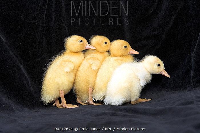 Four Ducklings, UK  -  Ernie Janes/ npl