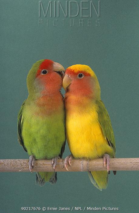 Pair of Lovebirds (Agapornis sp) perched  -  Ernie Janes/ npl