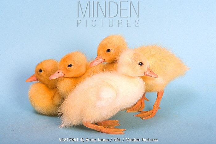 Four Ducklings  -  Ernie Janes/ npl