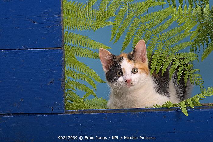 Domestic cat, kitten looking from shed window  -  Ernie Janes/ npl