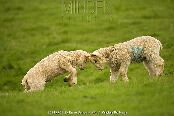 Domestic sheep, lambs playing in field, Goosehill Farm, Buckinghamshire, UK, April 2005  -  Ernie Janes/ npl