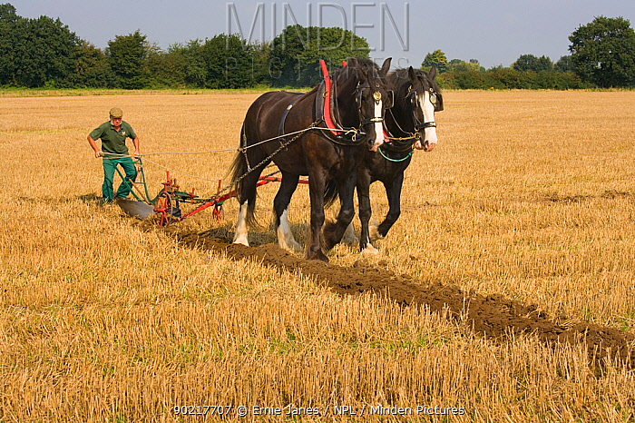 Farmer ploughing with a pair of Heavy shire horses, UK, September 2008  -  Ernie Janes/ npl