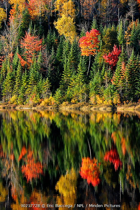 Autumn reflections on Modene Lake and forest La Mauricie National Park, Quebec, Canada, October 2010  -  Eric Baccega/ npl