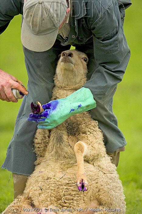 Shepherd treating ewe for footrot, UK, April 2005  -  Ernie Janes/ npl