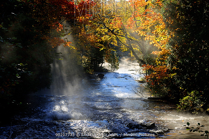 Mist and autumn coloured trees, Bouchard brook La Mauricie National Park, Quebec, Canada, October 2010  -  Eric Baccega/ npl
