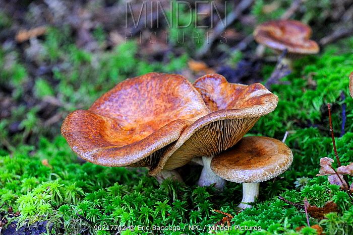 Toadstools, (Paxillus involutus ?), La Mauricie National Park, Quebec, Canada, October  -  Eric Baccega/ npl