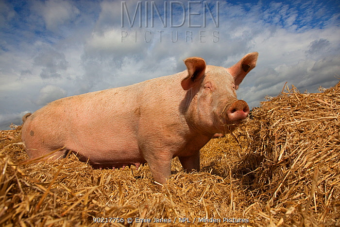 Domestic pig, hybrid large white sow in free-range conditions, UK, September 2010  -  Ernie Janes/ npl