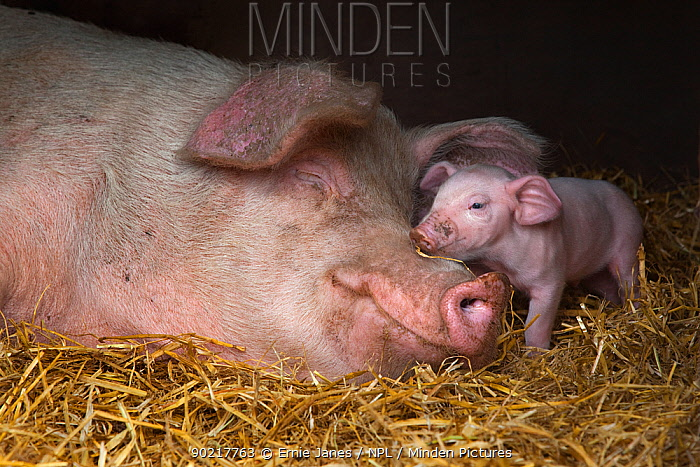 Domestic pig, hybrid large white sow and piglet in sty, UK, September 2010  -  Ernie Janes/ npl