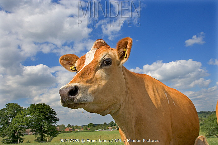 Domestic cattle, Jersey dairy cow in summer pasture, UK, June 2005  -  Ernie Janes/ npl