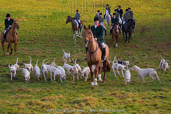 North Norfolk Harriers, huntsmen with hounds, Sennow Park, Norfolk, UK, December 2008  -  Ernie Janes/ npl
