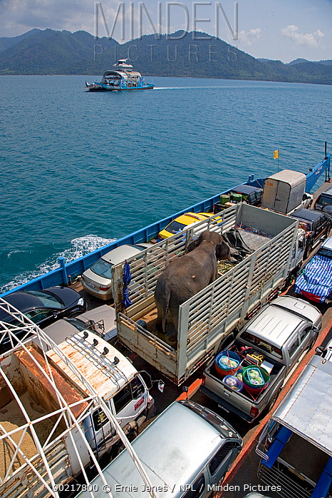 Domestic Asian elephant (Elephas maximus) in lorry, transported on a car ferry, Thailand, March 2009  -  Ernie Janes/ npl