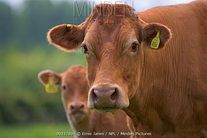 Domestic cattle, Beef calf beside mother in meadow, Hertfordshire, UK, May  -  Ernie Janes/ npl