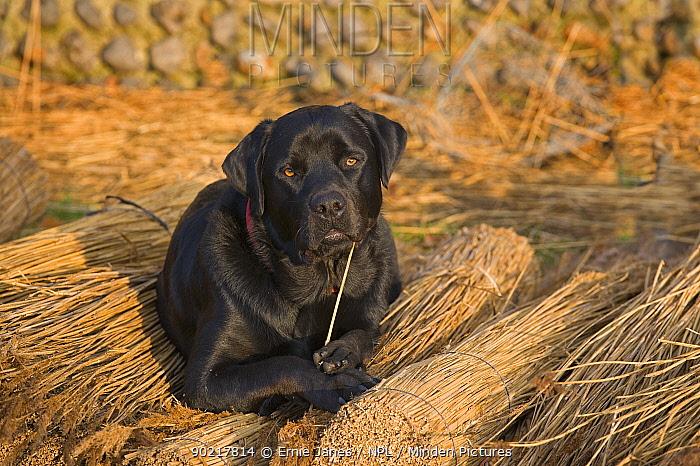 Black labrador dog resting on reeds used by thatcher to thatch roof, Norfolk, UK, November  -  Ernie Janes/ npl