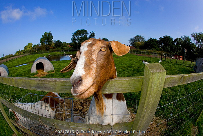 Boer domestic goat (Capra hircus) waiting to be fed, Norfolk, UK, September  -  Ernie Janes/ npl