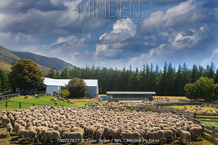 Huge flock of Merino Sheep, New Zealand, February 2009  -  Ernie Janes/ npl