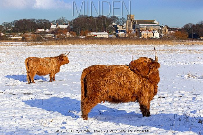 Highland cattle in snow, Cley, Norfolk, UK, December 2009  -  Ernie Janes/ npl