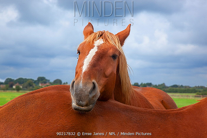 Suffolk Punch heavy horse in field resting head another's back, UK, September  -  Ernie Janes/ npl
