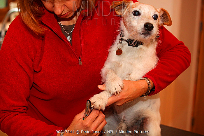 Woman holding and clipping the nails of a Jack Russell terrier, UK  -  Ernie Janes/ npl