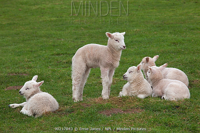 Domestic sheep, group of lambs together in a field, Norfolk, UK, March  -  Ernie Janes/ npl