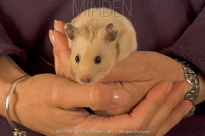 Pet Hamster (Mesocricetus auratus) held in hand  -  Ernie Janes/ npl