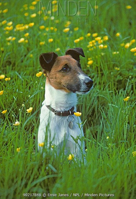 Smooth coated fox terrier in field of buttercups, UK  -  Ernie Janes/ npl