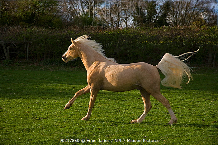 Palamino pony cantering in field, UK  -  Ernie Janes/ npl