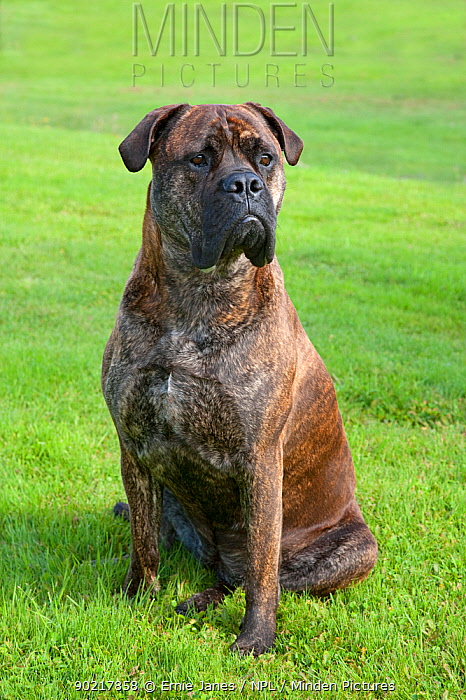 Bull mastiff dog, sitting portrait, UK  -  Ernie Janes/ npl