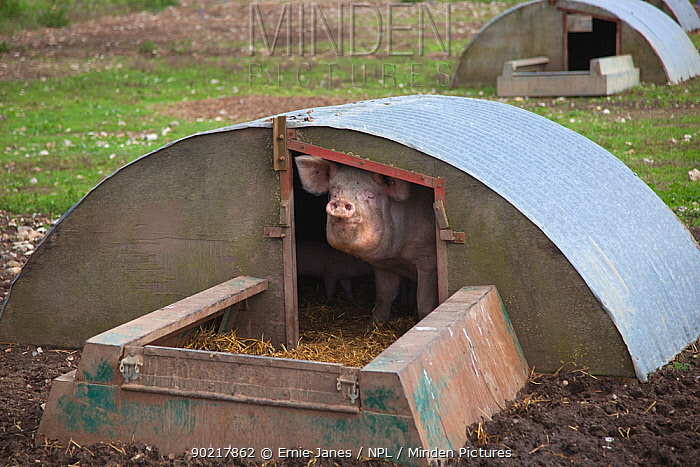 Domestic pig, hybrid large white sow in free-range sty conditions, UK, September 2010  -  Ernie Janes/ npl