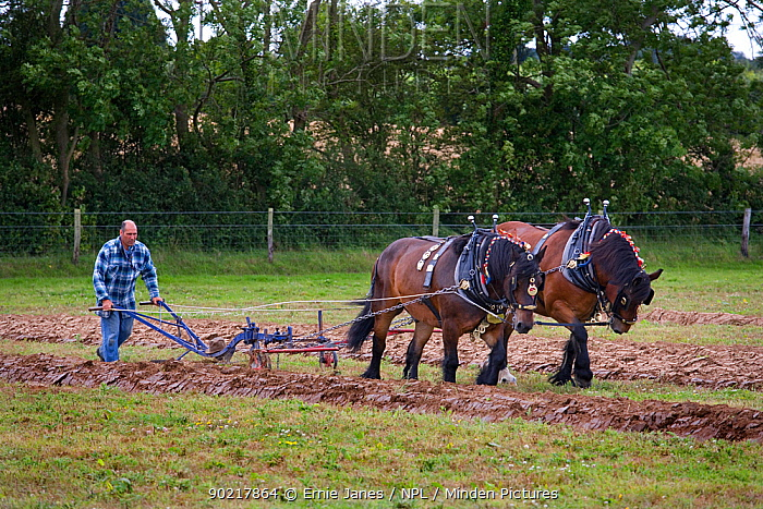 Ploughing with a pair of Ardennes heavy horses, UK  -  Ernie Janes/ npl