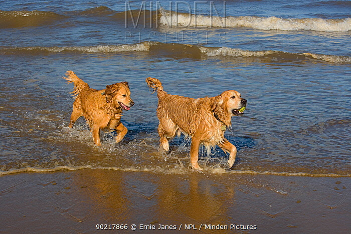 Domestic dog, two Golden retrievers coming out of water on beach, UK, October  -  Ernie Janes/ npl