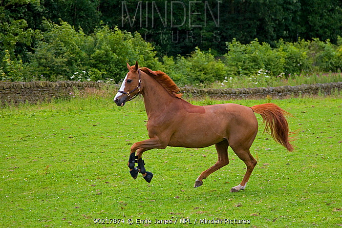 Domestic horse, Chestnut mare cantering in field, clipped, UK, July 2008  -  Ernie Janes/ npl