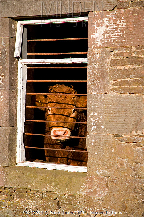 Domestic beef cattle looking out through bars on shed window, Scotland, UK, November  -  Ernie Janes/ npl