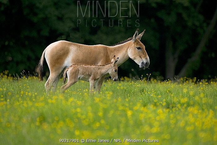 Asiatic wild ass (Equus hemionus) with foal, captive, UK, endangered species  -  Ernie Janes/ npl