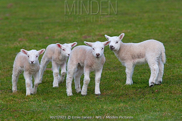 Domestic sheep, four Texel lambs together in a field, Norfolk, UK, March  -  Ernie Janes/ npl