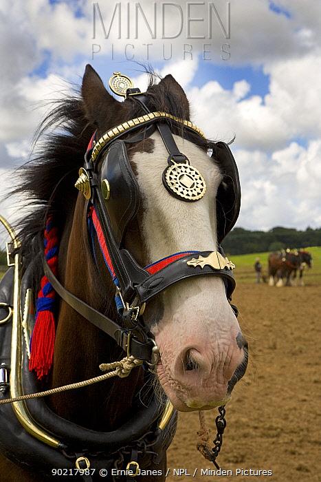 Working Shire horse, portrait, UK, July 2007  -  Ernie Janes/ npl