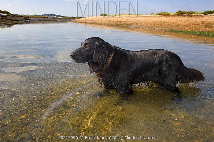 Domestic dog, black Flat-coated Retriever at coast, Norfolk, UK, September 2008  -  Ernie Janes/ npl