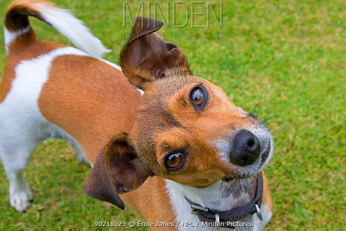 Jack russell terrier looking up at camera with head cocked on one side, Norfolk, UK  -  Ernie Janes/ npl