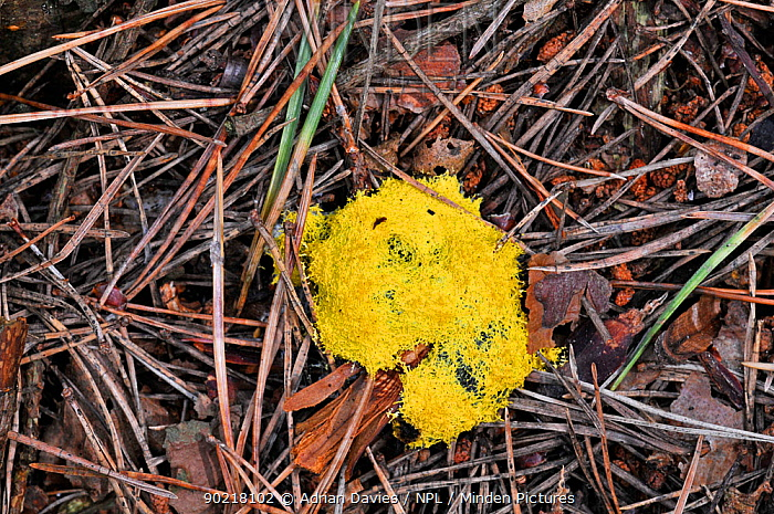 Dog Vomit Slime Mold (Fuligo septica) UK, September  -  Adrian Davies/ npl