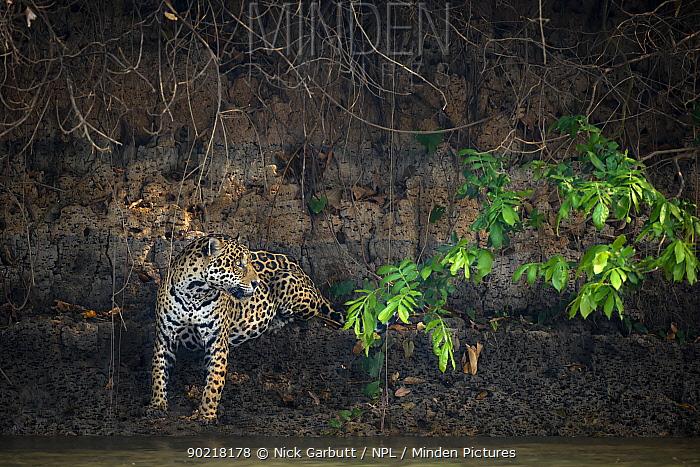 Wild male Jaguar (Panthera onca palustris) sitting on the edge of the Piquiri River (a tributary of Cuiaba River) Northern Pantanal, Brazil September  -  Nick Garbutt/ npl