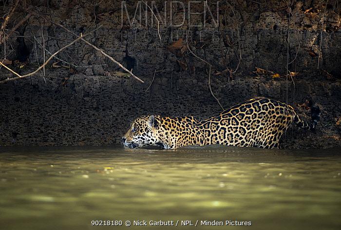 Wild male Jaguar (Panthera onca palustris) entering the Piquiri River, a tributary of Cuiaba River, Northern Pantanal, Brazil September  -  Nick Garbutt/ npl